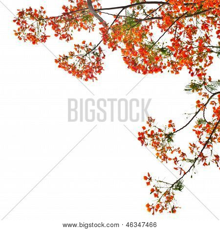 Flame Tree Or Royal Poinciana Tree