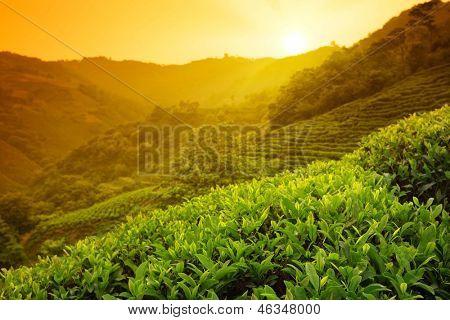 Paisagem de plantação de chá em sunrise