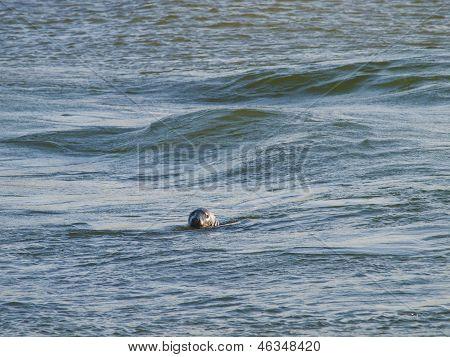 Seal Swimming In The North Sea