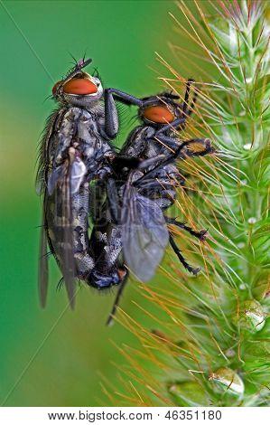 Mydaea Corni Musca Domestica