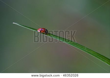Anatis Ocellata Coleoptera On A Grass