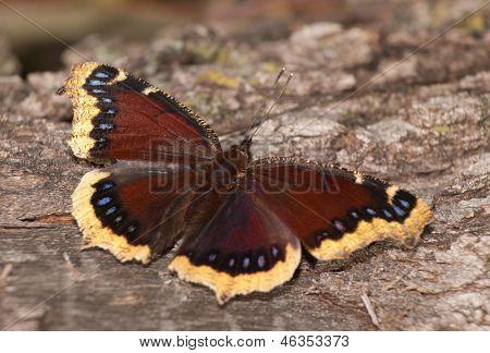 Mourning Cloak butterfly feeding on oak tree sap