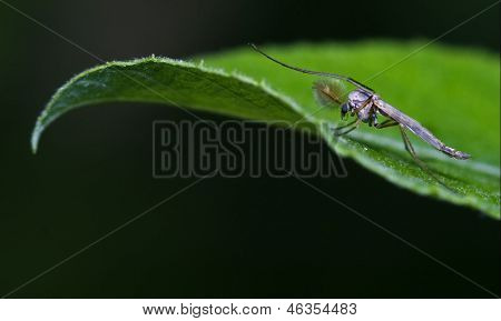 Mosquito  On A Green Leaf