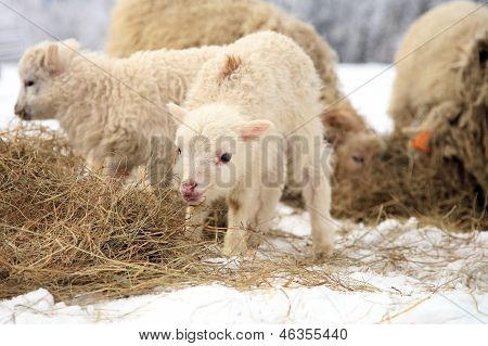 lamb eating the hay