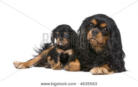 Cavalier king Charles Mutter und Pup