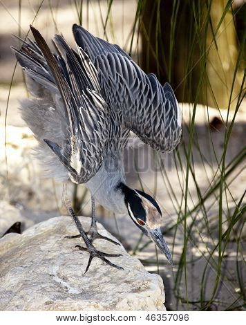 Night Heron Preparing To Attack