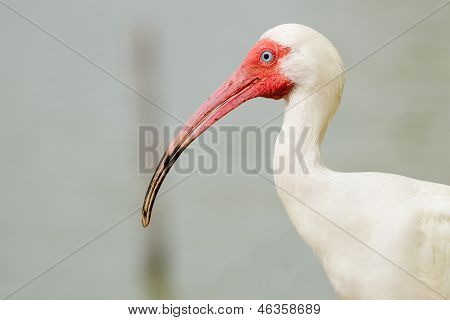 Close up portrait of white ibis, Eudocimus albus