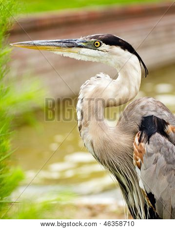 Close up portrait of great blue heron, Ardea herodias