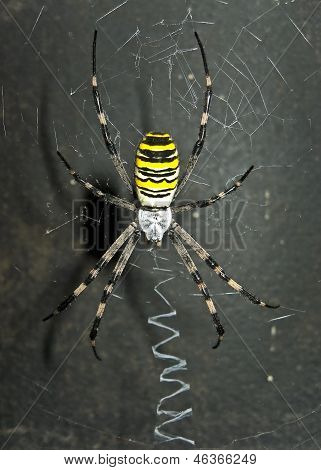 Dreadful spider on the net.