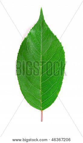 Cherry leaf.