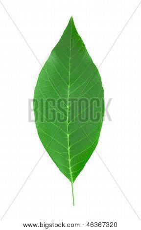 Walnut leaf.