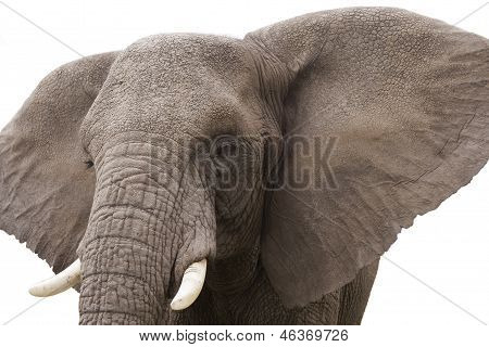 Elephant isolated