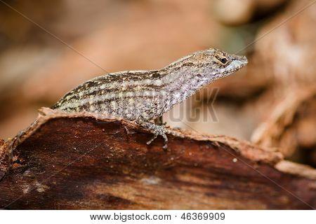 Portrait of eastern fence lizard, Sceloporus undulatus