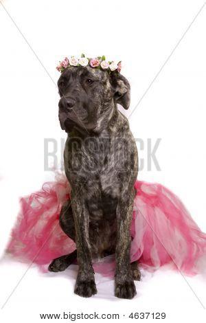 Ballerina Doggy