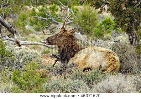 Elk In A High Plateau Glen