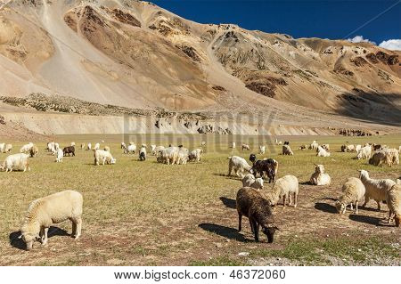 Herd of Pashmina sheep and goats grazing in Himalayas. Himachal Pradesh, India