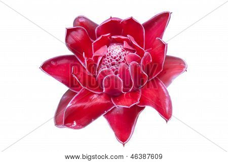 Torch Ginger Plant