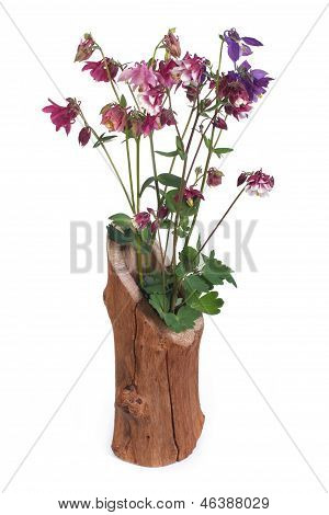 bouquet of colorful aquilegia in wooden vase isolated