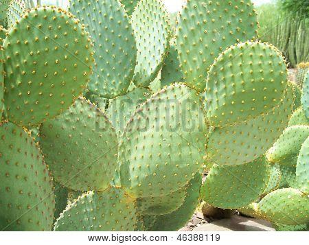 Desert Green Cactus Plant