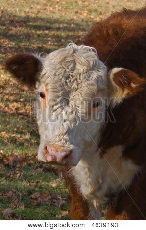 Young Calf Head Shot