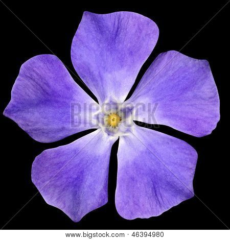 Purple Flower - Periwinkle Vinca Minor Isolated On Black