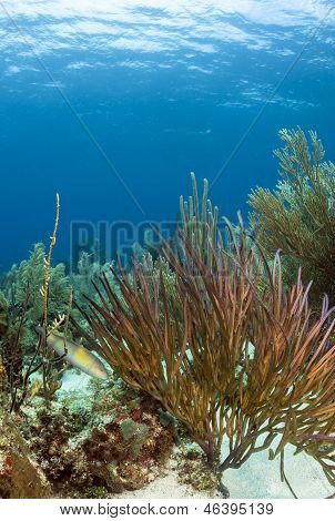 Underwater Coral Reef, Pterogorgia Guadalupensis