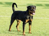 stock photo of herding dog  - A healthy robust and proudly looking Rottweiler standing on the lawn - JPG