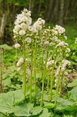 foto of butterbur  - Butterbur seeding - JPG