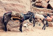 Donkeys at Petra in Jordan