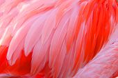 foto of fowl  - Bright red flamingo birds - JPG