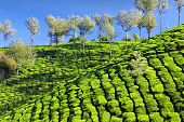 image of darjeeling  - Tea plantation in Munnar hills - JPG