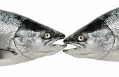 pic of cannibal  - Salmon fish eat fish - JPG