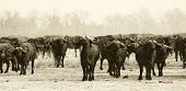 picture of cape buffalo  - Monochrome image of a large herd of African Cape Buffalo - JPG