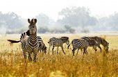 stock photo of wild adventure  - herd of zebra in the African wilderness - JPG
