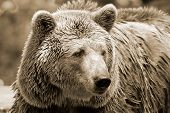 stock photo of grizzly bears  - The grizzly bear also known as the silvertip bear - JPG