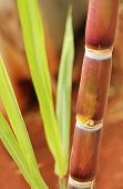 stock photo of sugar industry  - Sugarcane or sugar cane closeup showing juicy ripe stem rich in sucrose and ready for industrial extraction of sugar jaggery molasses and bio - JPG