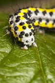 stock photo of grub  - Yellow worm or grub or maggot with black dots known as Toadflax  - JPG