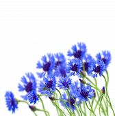 stock photo of indigo  - growing blue corn flower in field isolated on white  background