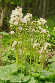 picture of butterbur  - Butterbur seeding - JPG