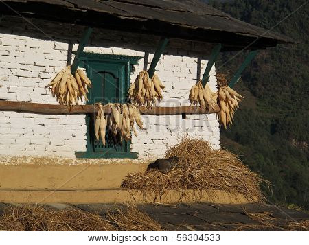Drying corn on a facade of a farmhouse in Ghandruk