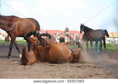 Brown Horse Lying On The Ground