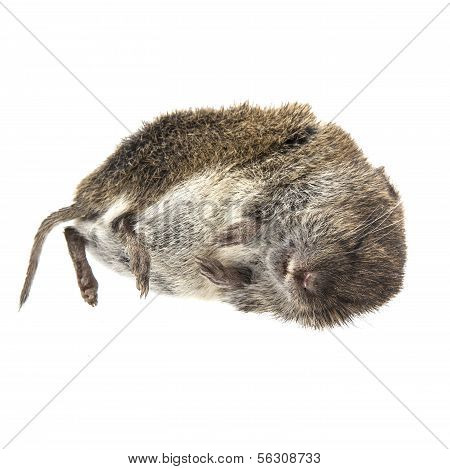 Dead Mouse On White Background