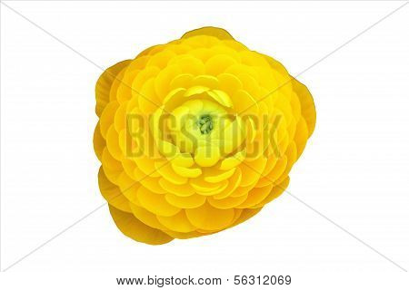 Yellow Persian Buttercup On White Background