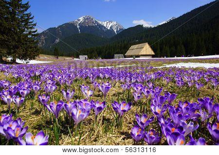 Crocuses in Chocholowska valley, Tatras Mountain in Poland