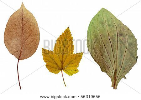 Leaves Of Apple, Currants And Plantain