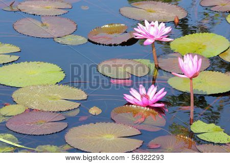 Rosa Lotusblume