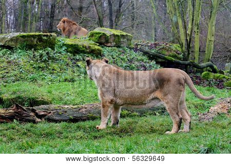 Female And Male Of Asiatic Lion