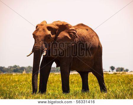 Elephant Walks In The Grass
