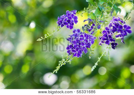 Purple blue Duranta flower