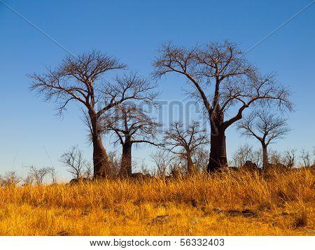 Baobab paraíso cerca de Savuti